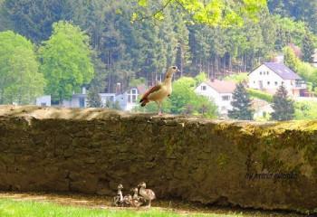 Nilgänse auf dem Burgbering in Daun; ?>