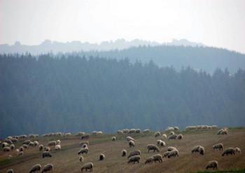 Schafe bei Boverath (2008); ?>