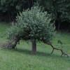 Apfelbaum bei Sprink (Strohn); ?>