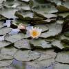 Blühende Seerose im Klosterweiher bei Mückeln; ?>
