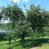 125 Jahren alter Apfelbaum in Schalkenmehren; ?>