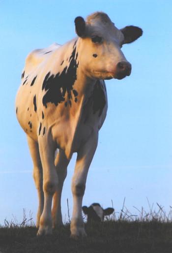 Holsteinische Schönheit in Steiningen; ?>